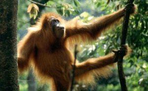 Rondreis op Sumatra, bezoek de orang oetans