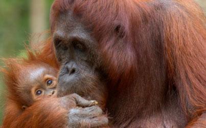 Ruig Sumatra