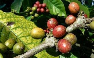 Bezoek Kalibaru op Java en bezoek de verschillende plantages.