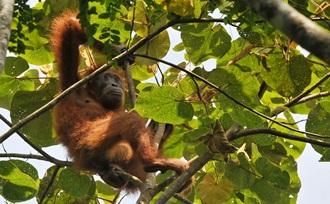 Rondreis-actief-vakantie-Sumatra-Bukit-Lawang