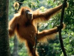 Sumatra-Bukit-Lawang-orang-utang