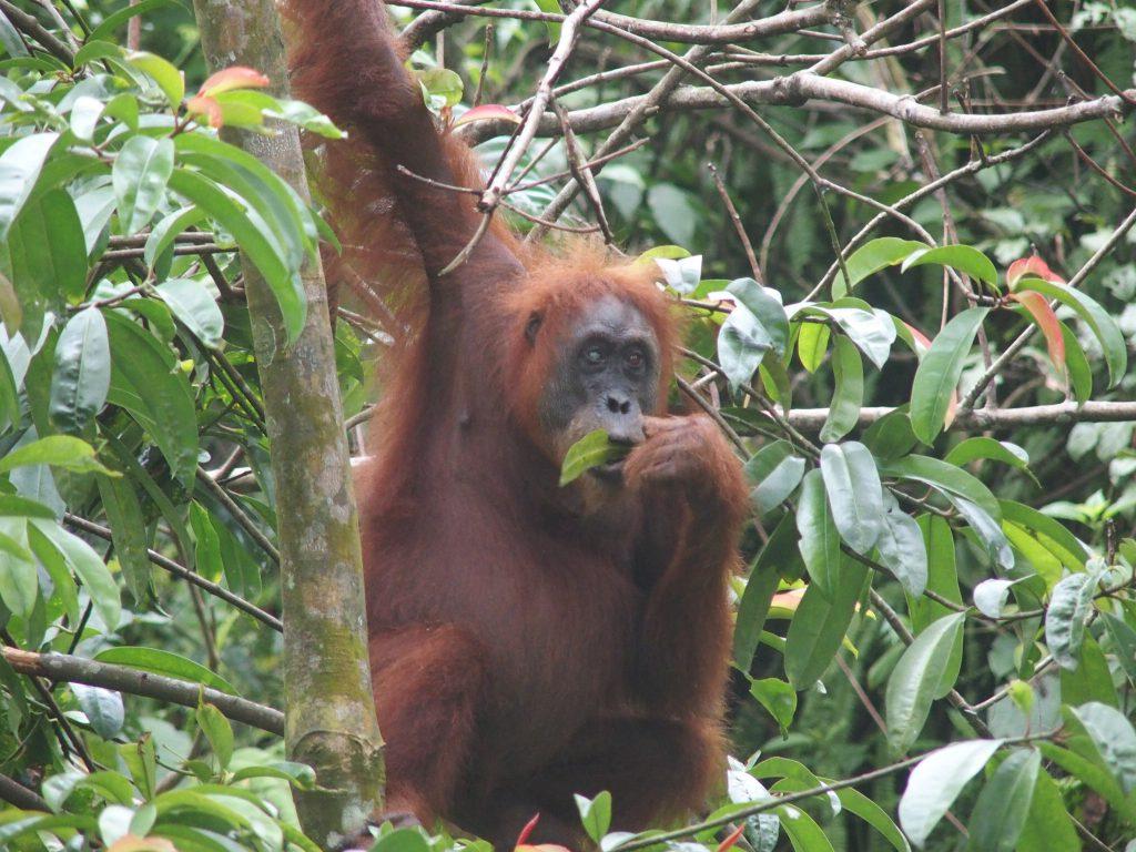 Orang Utang Sumatra tijdens gezinsreis met familie door de jungle