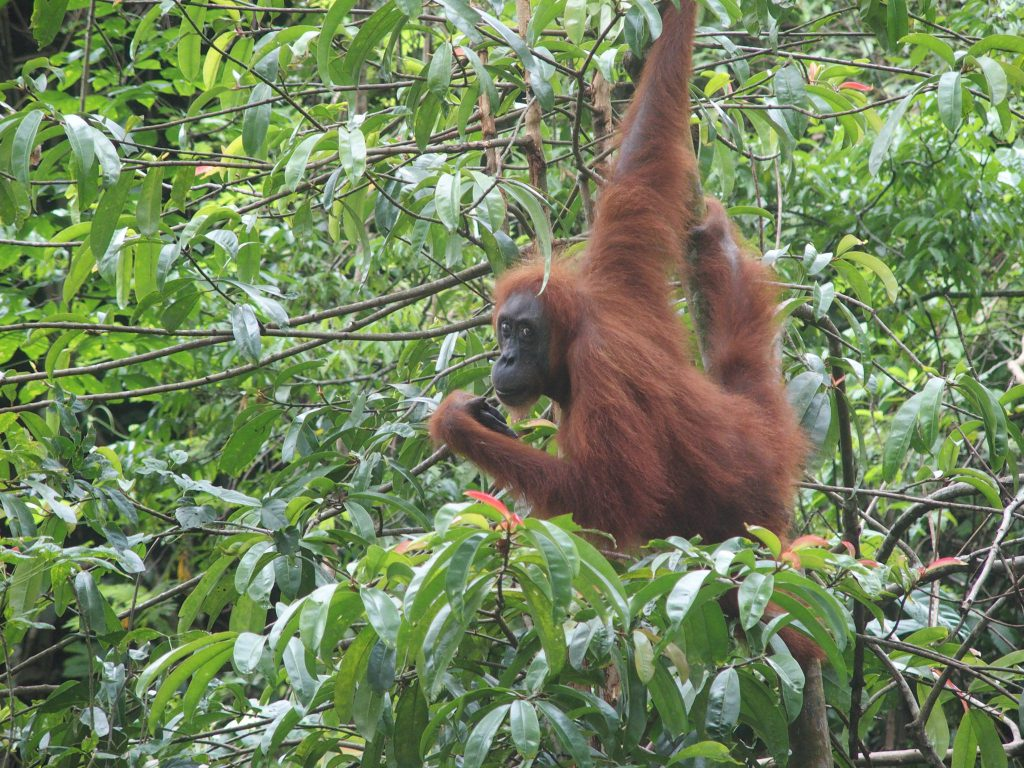 Advies op maat reis met gezin naar Sumatra om orang utang te spotten
